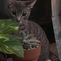 Adopt A Pet :: Bird is a Shy, Gorgeous, Sweet Kitten - Brooklyn, NY