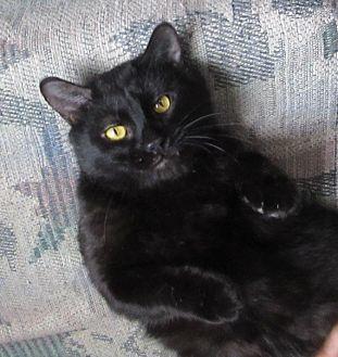 Domestic Shorthair Cat for adoption in Glenwood, Minnesota - Sebastian