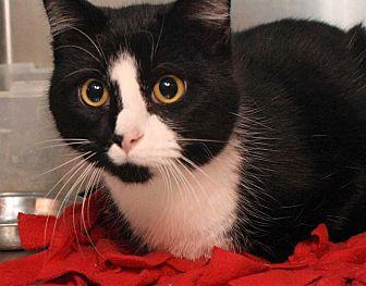 Domestic Shorthair Cat for adoption in Fort Madison, Iowa - Cactus