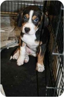 Beagle Mix Puppy for adoption in tucson, Arizona - Ruthy