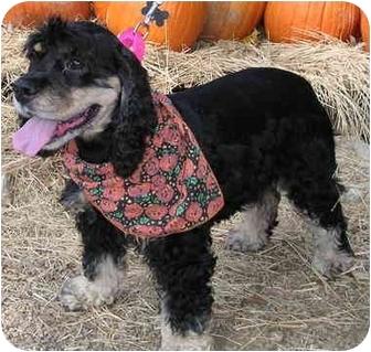 Cocker Spaniel Dog for adoption in Sugarland, Texas - Shallie