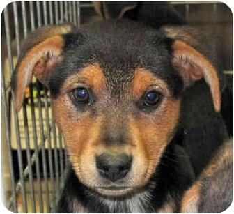 Beagle/Hound (Unknown Type) Mix Puppy for adoption in Stafford, Virginia - puppies