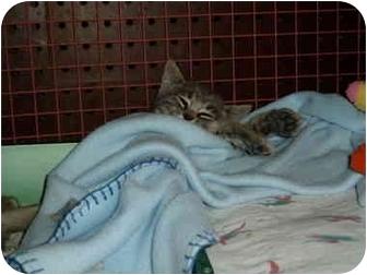 Domestic Mediumhair Kitten for adoption in Sacramento, California - Little Pea & Midge