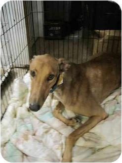 Greyhound Dog for adoption in Chagrin Falls, Ohio - Woody (Boc's Wood Hog)