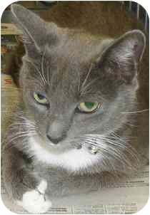 Domestic Shorthair Cat for adoption in Medford, Massachusetts - Princess Isabella