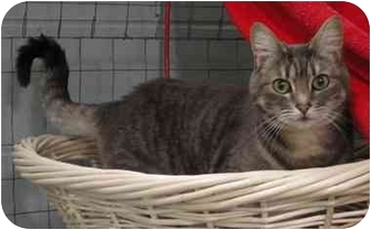 Domestic Shorthair Cat for adoption in Mission, British Columbia - Mandy