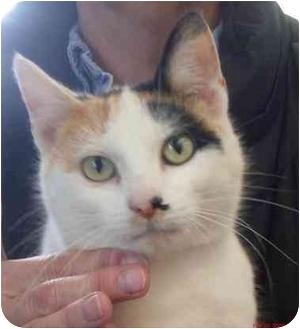 Calico Cat for adoption in Harrison, Arkansas - Cashmere