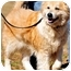 Photo 3 - Golden Retriever/Collie Mix Dog for adoption in Pawling, New York - TULIP