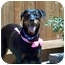 Photo 1 - Rottweiler/Doberman Pinscher Mix Dog for adoption in Salem, Oregon - Molly