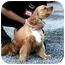 Photo 2 - Cocker Spaniel Dog for adoption in Ephrata, Pennsylvania - Bear