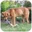 Photo 4 - Golden Retriever/Shepherd (Unknown Type) Mix Dog for adoption in Salem, New Hampshire - Julya