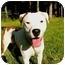 Photo 3 - American Staffordshire Terrier/American Bulldog Mix Dog for adoption in Mocksville, North Carolina - Shakira