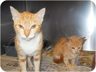 Domestic Shorthair Cat for adoption in Mobile, Alabama - Lec