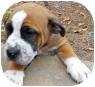 St. Bernard Mix Puppy for adoption in Marietta, Georgia - Curly
