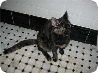 Calico Kitten for adoption in Cincinnati, Ohio - Beauty: Hyde Park