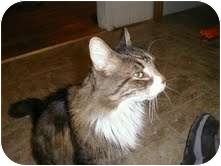 Maine Coon Cat for adoption in Medford, Massachusetts - Squeaky