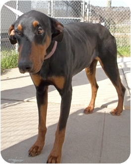 Doberman Pinscher Mix Dog for adoption in Gaffney, South Carolina - Prince