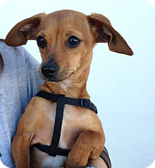 Dachshund/Chihuahua Mix Puppy for adoption in Los Angeles, California - Emily