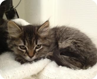 Domestic Longhair Kitten for adoption in Tucson, Arizona - Max