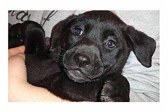 Labrador Retriever/Shepherd (Unknown Type) Mix Puppy for adoption in Pompton Lakes, New Jersey - Espresso