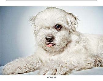 Shih Tzu Mix Dog for adoption in New York, New York - Little Lowell