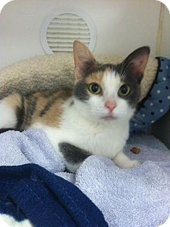 Domestic Shorthair Kitten for adoption in Reisterstown, Maryland - Sushi
