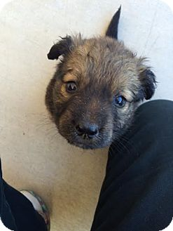 Australian Shepherd/Spitz (Unknown Type, Medium) Mix Puppy for adoption in Phoenix, Arizona - QUINTON