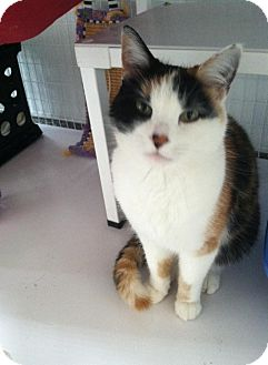 Domestic Mediumhair Cat for adoption in Gunnison, Colorado - Patches