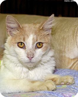 Domestic Mediumhair Cat for adoption in Medina, Ohio - Foxy