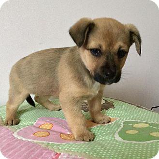 Pekingese/Labrador Retriever Mix Puppy for adoption in Woodstock, Georgia - Ally