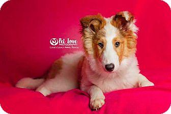 Collie Puppy for adoption in Cincinnati, Ohio - Cadence