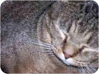 Domestic Shorthair Cat for adoption in cincinnati, Ohio - Moonface Melvin