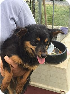 Papillon Mix Dog for adoption in Powder Springs, Georgia - Tetley