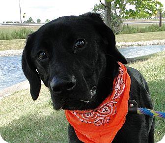 Labrador Retriever Mix Dog for adoption in Austin, Texas - LuLu
