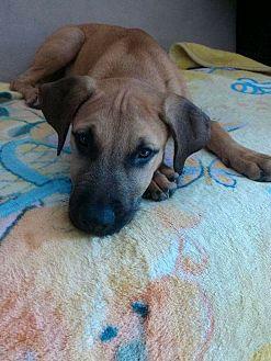 Labrador Retriever/Boxer Mix Dog for adoption in Long Beach, California - Mega