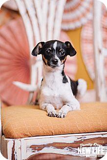 Rat Terrier/Italian Greyhound Mix Puppy for adoption in Portland, Oregon - Foxie