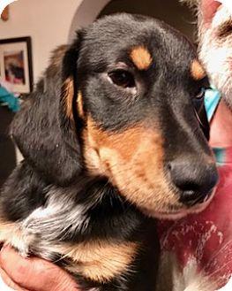 Dachshund Mix Puppy for adoption in ST LOUIS, Missouri - DASH
