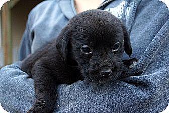Cocker Spaniel Mix Puppy for adoption in West Nyack, New York - Mocha