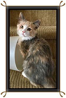 Domestic Longhair Kitten for adoption in Mt. Prospect, Illinois - Opal