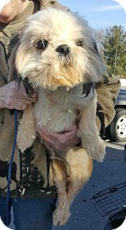Shih Tzu Mix Dog for adoption in Loudonville, New York - Jared