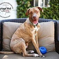 Adopt A Pet :: BENTLEY - Pasadena, CA