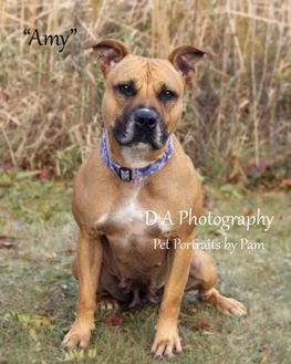 Boxer/American Pit Bull Terrier Mix Dog for adoption in Fond du Lac, Wisconsin - Amy
