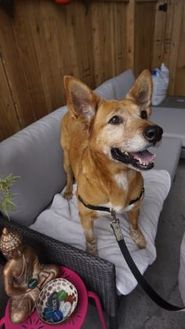 Mixed Breed (Medium) Mix Dog for adoption in Seattle, Washington - Flame