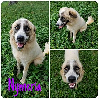 Great Pyrenees Mix Dog for adoption in Hagerstown, Maryland - Nymeria