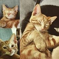 Adopt A Pet :: Atticus - McHenry, IL