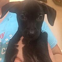 Adopt A Pet :: Maddox - Boston, MA