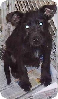 Retriever (Unknown Type)/Wirehaired Pointing Griffon Mix Puppy for adoption in Kansas City, Missouri - Reggie
