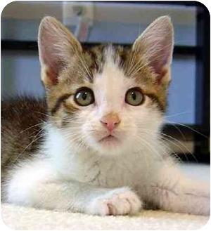 Domestic Shorthair Kitten for adoption in Overland Park, Kansas - Lillie