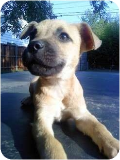 Black Mouth Cur Mix Puppy for adoption in Farmers Branch, Texas - Brutus