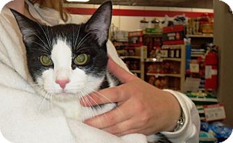 Domestic Shorthair Cat for adoption in Madison, Tennessee - Peter - therapy cat